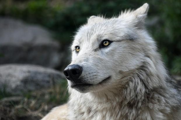 Откриха запазена глава на вълк на 40 000 години в Сибир