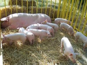 Снимка: БАБХ потвърди второ огнище на Африканска чума при домашните свине