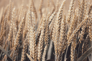 Снимка: Добричките зърнопроизводители очакват с около 10 на сто по-малко реколта