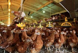 Всички 30 000 кокошки носачки са изгорели живи при вчерашния