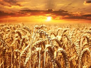 Снимка: Двойно по-ниски добиви на пшеница в Русенско заради дъждовете