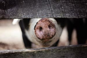 Снимка: Над 2 млн. лв. обезщетение ще получи свинекомплексът в Николово