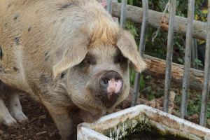 """ДФ """"Земеделие"""" преустановява физическите проверки на място в свиневъдните стопанства"""
