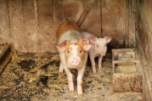 В индустриалната ферма в Голямо Враново евтаназията на животните ще