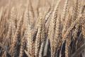 Добричките зърнопроизводители очакват с около 10 на сто по-малко реколта