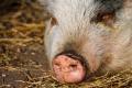 Ново огнище на Африканска чума при домашни свине за първи път в област Враца
