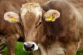 Фермер изхвърли трупове на мъртви крави край с. Змейово