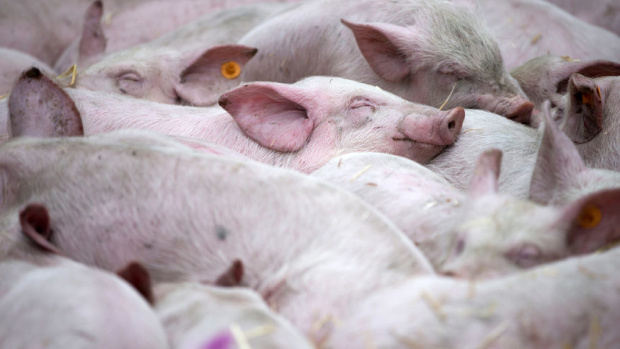 Директорът на БАБХ: Африканската чума по свинете ще се отрази зле и на туризма