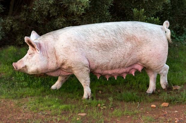 Хората не бива да колят прасетата си, съветва експерт