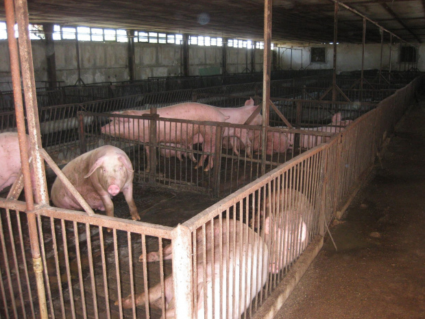 Африканската чума стигна до огромен свинекомплекс в село Николово