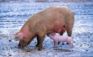 От днес започва умъртвяването на животните от свинекомплекса в село