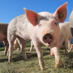 Нов протест заради африканската чума по свинете.Стопани от ямболското село