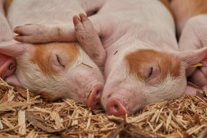 Въпреки заканата за протестиумъртвяването на прасетата заради обявеното огнище на