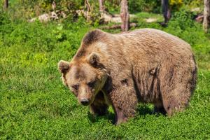 19 животни са умъртвени при 15 нападения на мечки през