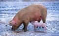 Започват евтаназията на прасетата във фермата в Голямо Враново