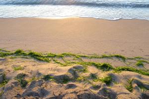 От десетилетия потенциално смъртоносни зелени водорасли се натрупват в заливи