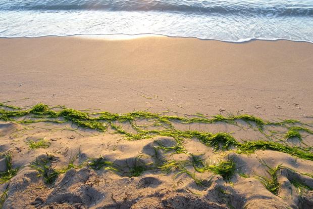 Смъртоносни водорасли се трупат десетилетия по крайбрежие на Франция