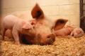 Мерки срещу АЧС: Над 9 млн. лв. за стопанствата