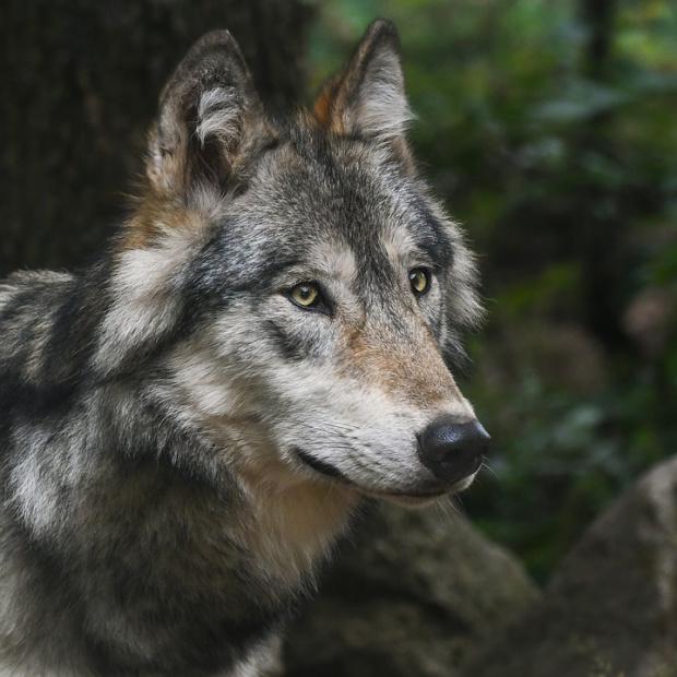 Вълци тормозят жителите на село Раздол, община Струмяни. Почти всеки