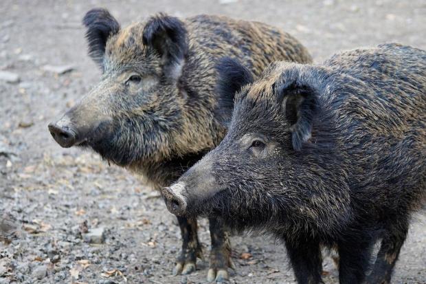 Първи случай на африканска чума по свинете е регистриран в
