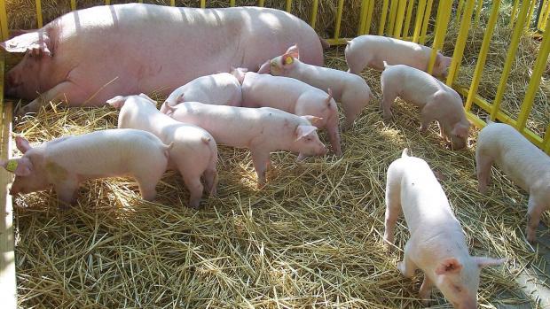 """ДФ """"Земеделие"""" изплати близо 4,3 млн. лв. на 50 свиневъди"""