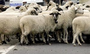 Кола се натресе в 500 овце край Карлово, овчарят плаща 3684 лева за ПТП-то