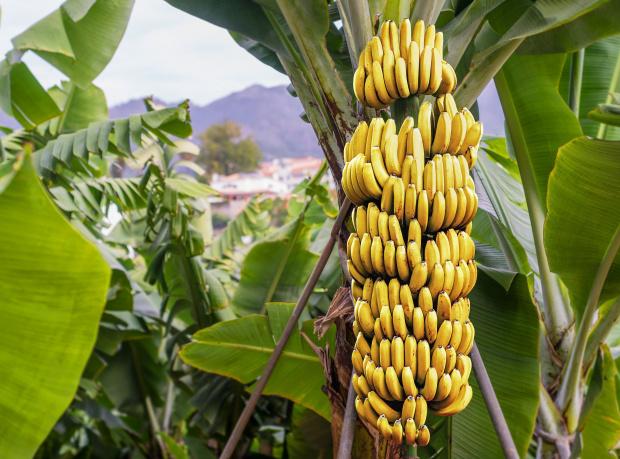 Внимавайте! Бананите са нападнати от опасна гъбична инфекция