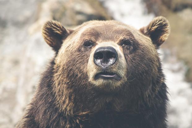 Шест случая на набези на мечки в Смолянско само през ноември