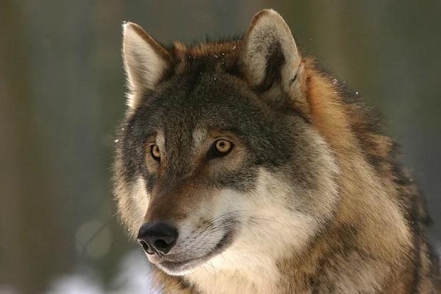 Снимка: Вълци нападнаха младежи в Стара планина