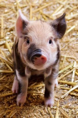 В Китай се родиха първите хибриди между прасе и маймуна