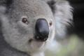 ПЕТИЦИЯ: Коалите от Австралия да бъдат заселени в Нова Зеландия