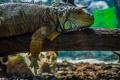 Необичайно студеното време във Флорида: Игуани падат от дърветата