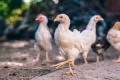 ЕС забранява вноса на птиче месо от Украйна