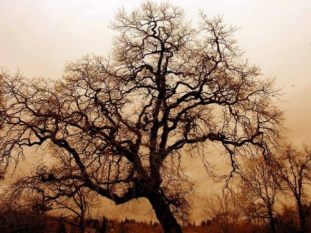 Учени разгадаха как дървото гинко билоба може да живее повече