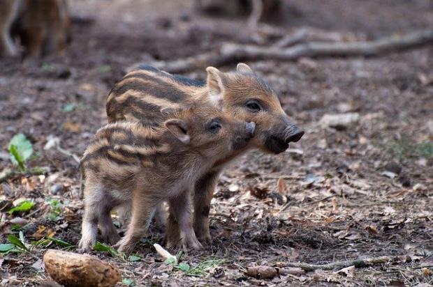 Срокът за групов лов на дива свиня се удължава до