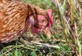 БАБХ регистрира огнище на Инфлуенца по птиците в България