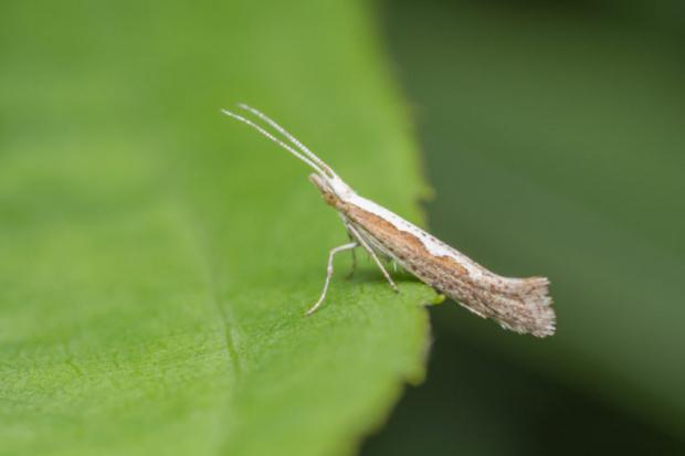 В САЩ пуснаха в природата генномодифицирани пеперуди