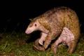 Това животно и бракониерският му лов в Китай донесоха на света страшната болест