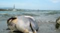 Мъртви делфини край Созопол