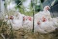 Учен: Апокалиптичен вирус от ферми за пилета ще унищожи половината човечество