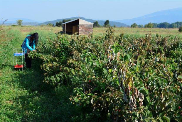 Безработните, решили да работят в селското стопанство, няма да губят