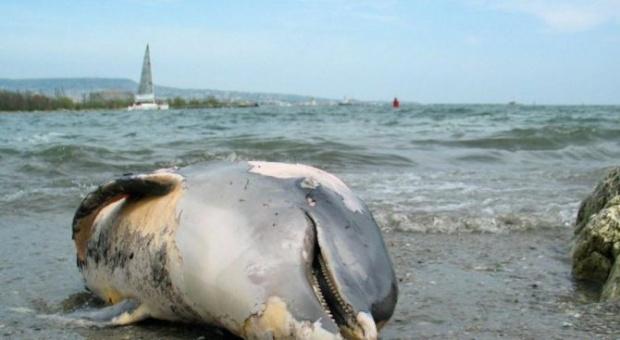 Телата на два делфина, единият от които очаквал потомство, са