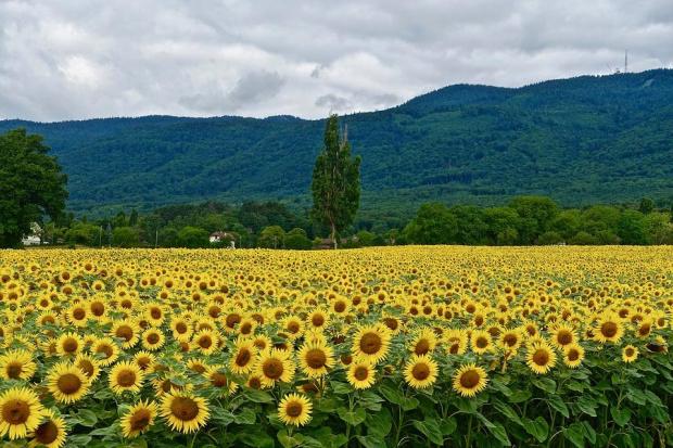 Рекордно ниски ще са добивите от слънчогледовите посеви тази година,