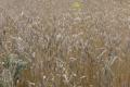 Над 4.6 млн. тона пшеница ожънаха фермерите