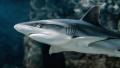 Ваксината срещу COVID-19 застрашава половин милион акули
