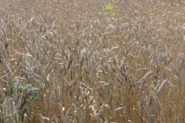 4 626 318 тона е произведената пшеница за 2020 г.