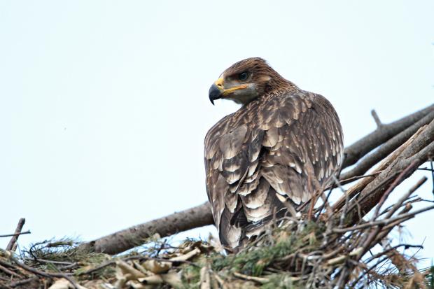 Подкрепете проект на EVN за опазването на царския орел в България!