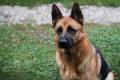 """Кучета """"тестват"""" по-бързо хора за коронавирус от PCR-ите"""