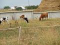Определена е ставката по обвързано подпомагане за млечните крави за 2020 г.