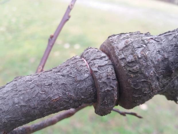 Не връзвайте мартениците си по дърветата - така ги наранявате и образувате входни рани